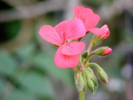 Evening Pelargonium by Ratabago