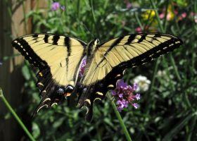 Eastern Tiger Swallowtail #4 by JED1948