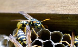 Close Up Wasp by WoodenOx
