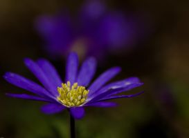 blue anemone in a dark forest by clochartist-photo