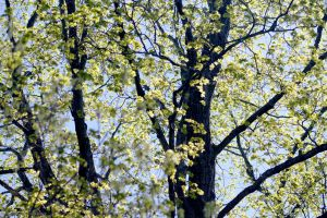 Spring young leaves by jonathanfaulkner