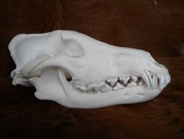 Alaskan Wolf Skull Stock by Minotaur-Queen-Stock