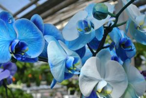Pale Blue Orchids by Miss-Tbones