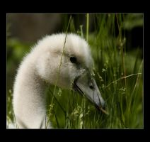 Little Swan in the Grass. by sekhmet-neseret