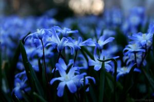 Blue flowers. by Unreined
