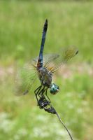 Dragonfly02 by 1ASP1