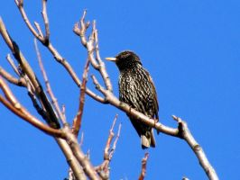 European Starling by Sasa-Van-Goth