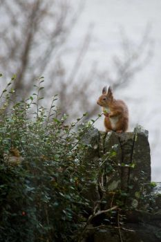 red squirrel on post. by sandyprints