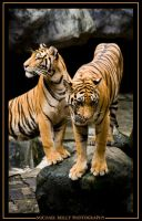 Two Tigers by Miker204