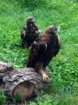 Golden Eagles by Roonifer