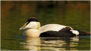 Male Eider by andy-j-s
