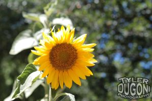 Sunflower in the Sun by Tjdyo