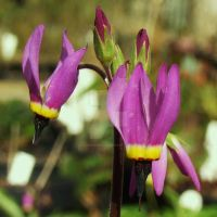 Dodecatheon poeticum II by Yawn-Monster