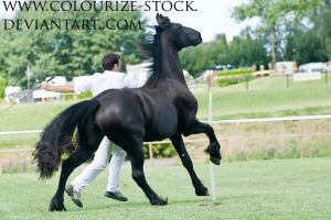 Friesian 3 by Colourize-Stock