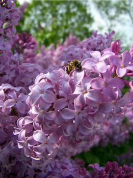 Bee on lilacs by jewels4665