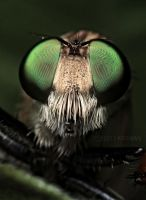 MR.ROBBER FLY by karman87