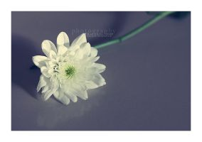 . . . White purity by Miss-Photo