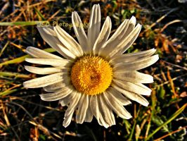 Frosted Daisy by JeremyC-Photography