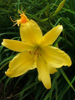 Yellow Daylily by Rubyfire14-Stock