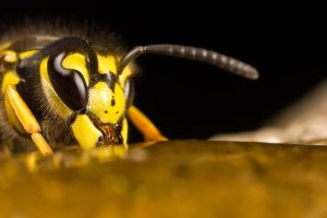 Wasp in the Honey by dalantech