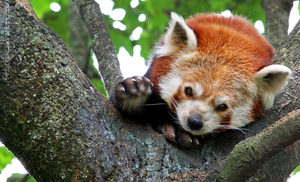 Red Panda by Kittyoholic