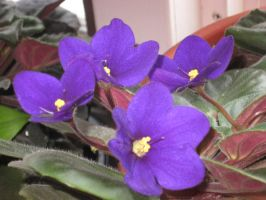 African Violet by crazygardener