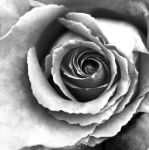 Rose by JVarriano