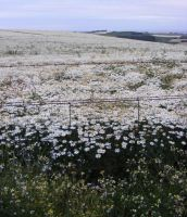 Field Of White Daisies 1 by Gracies-Stock