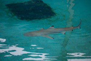 Dlacktip Reef Shark by superchickenn123