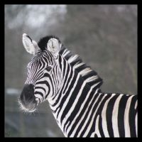 Zebra10e by Globaludodesign