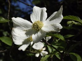 Pacific Dogwood by 145kristy145