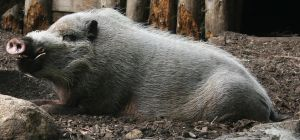 Bearded Pig Stock by emothic-stock