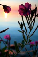Flower Sunset by sarabil1