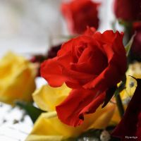 Une Rose Rouge en Hiver I by hyneige