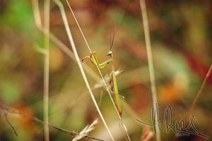 Mantis 3 by Shes-All-Smiles