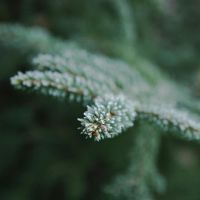 Icy spruce by scmeder