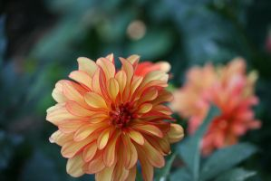 dahlias in Flora garden 20 by ingeline-art