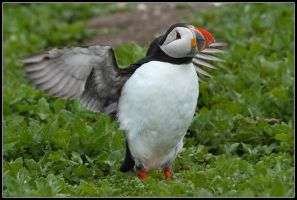 The Stretching Puffin by nitsch