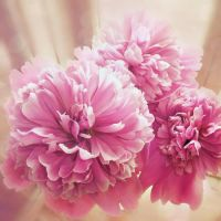 peony. by a-place4my-head