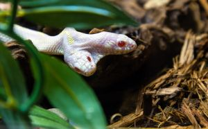 Two-headed Albino Snake by OrangeRoom