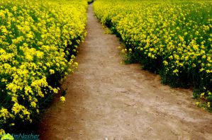Dirt path among the yellow flowers by IamNasher