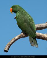 Eclectus Parrot 01 by SalsolaStock