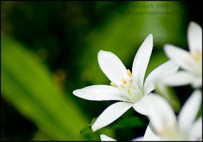 White Flowers by aheria