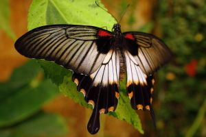 Great Yellow Mormon by Topasdragon