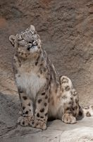 Smiling Snow Leopard by robbobert