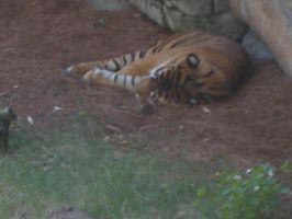 Zoo pic 5...tiger by leoslittlebride