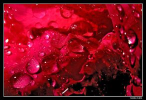 Drops on petals by JasenkaLuksa