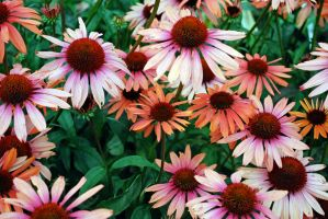 Coneflowers 1 by dpt56