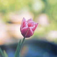 Tulip by Alyss6