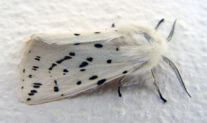 White Ermine Moth at Front Door close-up 2 by SrTw